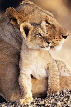 plakat LIONESS - AND CUB